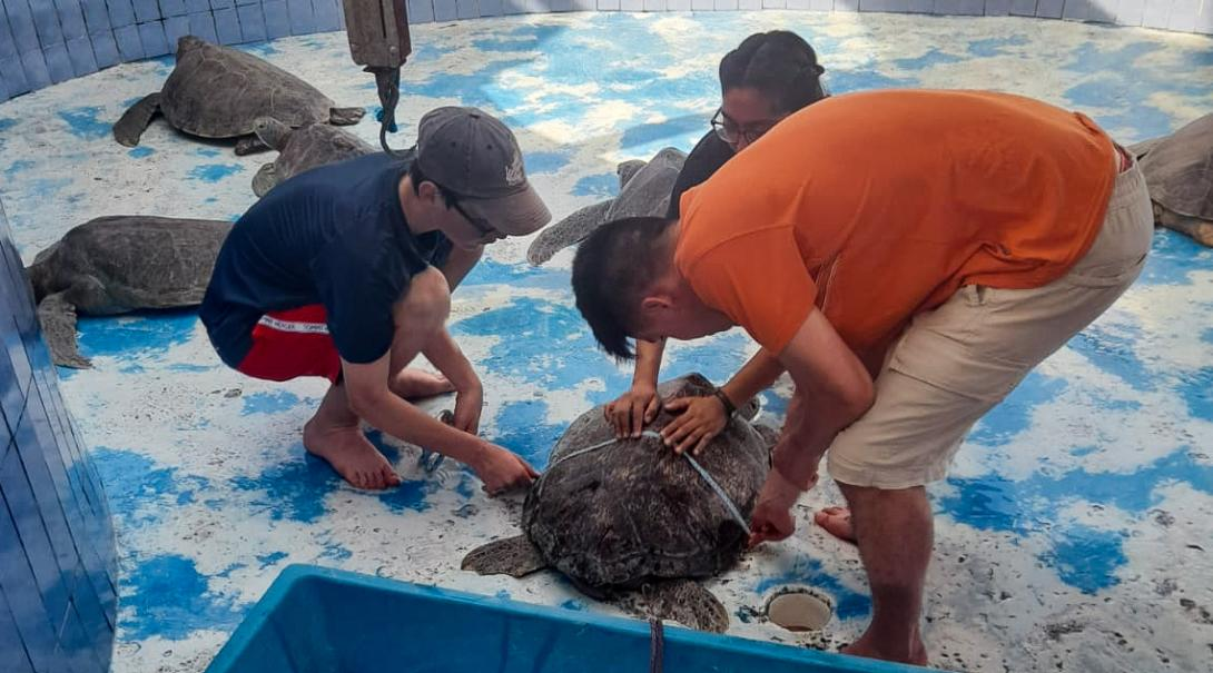 Projects Abroad Volunteers measure a Sea Turtle in Mexico